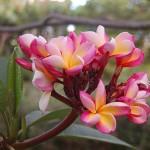 fleurs frangipanier